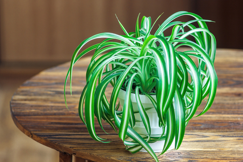 Spider plant as house plant